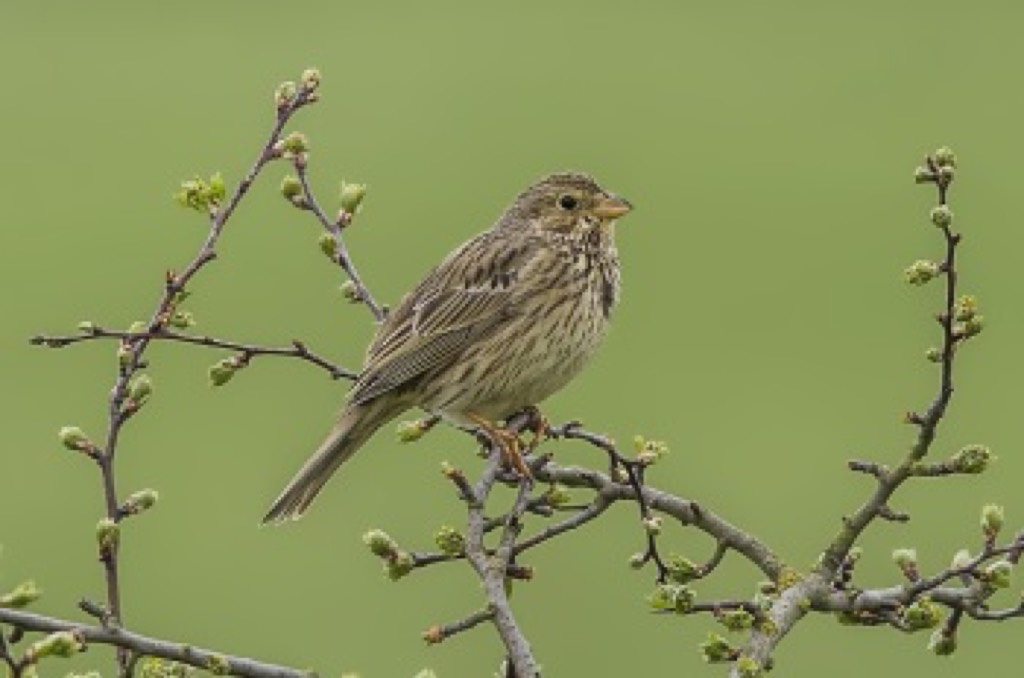 Corn Bunting Ivinghoe Apr 2017 350