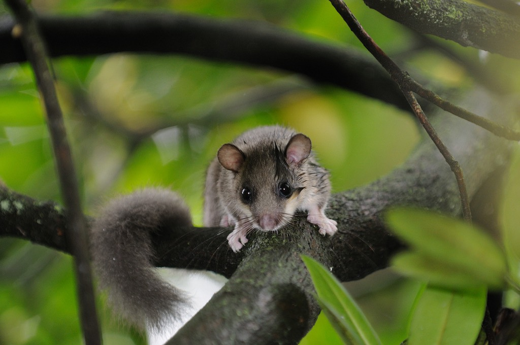 Glis glis Edible Dormouse Stefan Jacobs