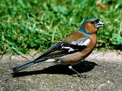 Chaffinch / Sue Ward