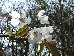Cherry in blossom / Chilterns Conservation Board