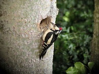 Great spotted woodpecker / Paul Young