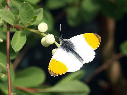 Orange tip butterfly / Allen Beechey