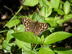 Speckled wood butterfly / Chilterns Conservation Board