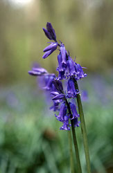English bluebell / Natural England, Tina Stallard