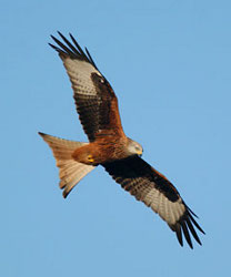 Red kite / Gerry Whitlow