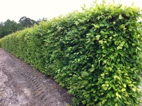 instant hedge
